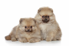 Pomeranian Puppies on white background Stock Photos