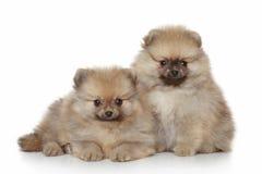 Pomeranian Puppies on white background Stock Photos
