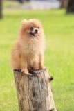 Pomeranian pupply dog sitting on tree stump in green garden fiel Stock Photography