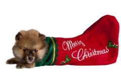 Pomeranian puppy Royalty Free Stock Photos