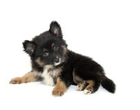 Pomeranian Puppy Royalty Free Stock Photography
