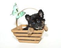 Pomeranian Puppy Royalty Free Stock Photo