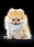 Pomeranian puppy Royalty Free Stock Photos