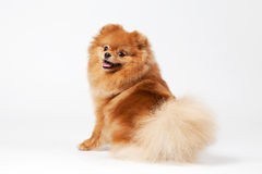 Pomeranian puppy. On white gradient background Stock Images