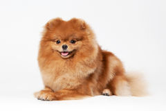 Pomeranian puppy. On white gradient background Stock Image