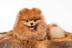 Pomeranian puppy. On white gradient background Royalty Free Stock Images