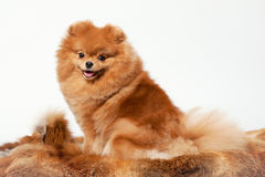 Pomeranian puppy. On white gradient background Royalty Free Stock Image