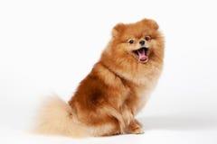 Pomeranian puppy. On white gradient background stock photo