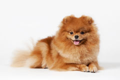 Pomeranian puppy. On white gradient background Stock Photography
