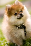 Pomeranian Puppy. Portrait of an adorable Pomeranian puppy on a grassy lawn Stock Image