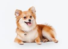 Pomeranian puppy Stock Image