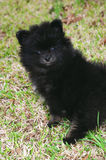 Pomeranian puppy 3 Royalty Free Stock Photos