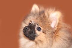 Pomeranian puppy. Cute pomeranian puppy spitz portrait Stock Image