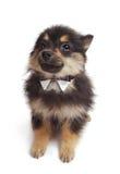 Pomeranian Puppy. A black and tan Pomeranian puppy Royalty Free Stock Photo