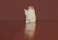 Pomeranian puppy. Adorable Pomeranian puppy in a dress Royalty Free Stock Photos