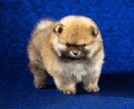 Pomeranian puppy age of 1,5 month over blue background Stock Photography