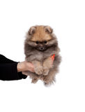 Pomeranian puppy at the age of 2 months on human hands isolated Royalty Free Stock Image
