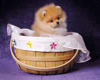 Pomeranian Puppy in Basket Stock Photo