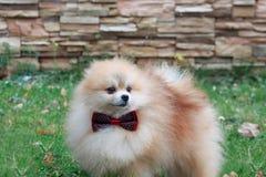 Pomeranian puppy in a beautiful bow tie. Stock Photos