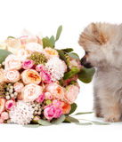 Pomeranian puppy with bouqet of flowers isolated on white backgr Stock Image