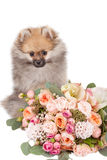 Pomeranian puppy with bouquet of flowers  Stock Images