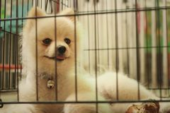 Pomeranian puppy in a cage at the park Stock Photo