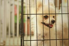 Pomeranian puppy in a cage at the park Royalty Free Stock Images