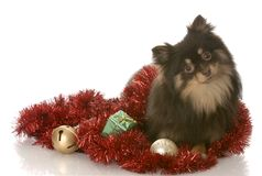 Pomeranian puppy with christmas garland Royalty Free Stock Photos