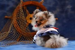 Pomeranian puppy. Costume, Halloween Pomeranian, dogs, smiling dog, cute puppy Stock Image