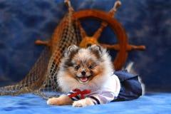 Pomeranian puppy. Cute smiling dog Stock Image