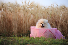 Pomeranian puppy dog Royalty Free Stock Photo