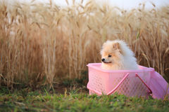 Pomeranian puppy dog Stock Image