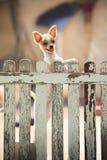 Pomeranian puppy dog climbing old wood fence Royalty Free Stock Photo
