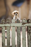 Pomeranian puppy dog climbing old wood fence Royalty Free Stock Image