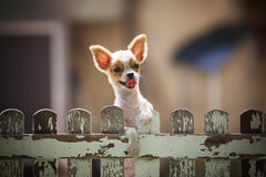 Pomeranian puppy dog climbing old wood fence use for animals and Stock Photo