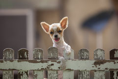 Pomeranian puppy dog climbing old wood fence use for animals and Royalty Free Stock Image