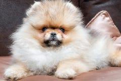 Pomeranian puppy dog royalty free stock photos