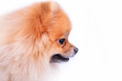 Pomeranian puppy dog Royalty Free Stock Images