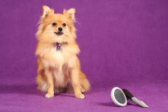 Pomeranian Puppy Dog with Grooming Brushes Royalty Free Stock Photography
