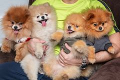 Pomeranian puppy dogs in the hands of man royalty free stock image