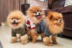 Pomeranian puppy dogs stock photography