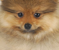 Pomeranian puppy face Stock Images