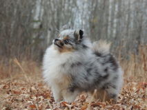 Pomeranian puppy. In the forest Stock Photography