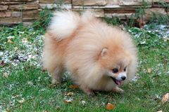 Pomeranian puppy is frolicking on the green grass. Pet animals Stock Photos