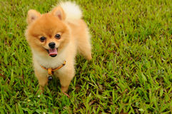 A Pomeranian puppy on grass Royalty Free Stock Image