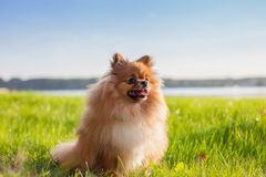 Pomeranian puppy on grass Stock Photos