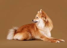 Pomeranian puppy on light brown gradient background Stock Photography