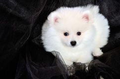 Pomeranian puppy lying on the black cloth Stock Photography