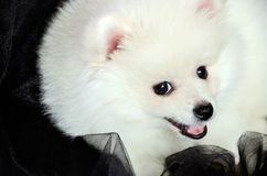 Pomeranian puppy lying on the black cloth and smiling Stock Image