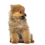 Pomeranian Puppy, 2 months old, sitting Royalty Free Stock Photography